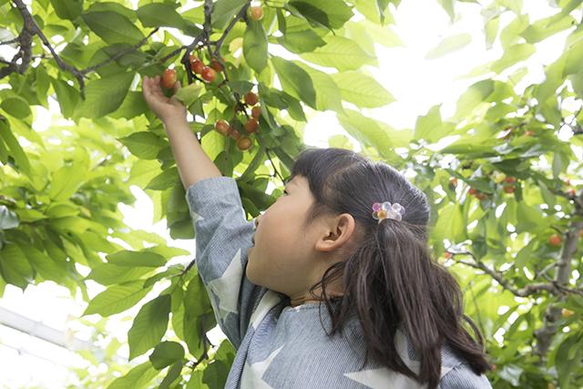 お子様も楽しみやすい低樹栽培